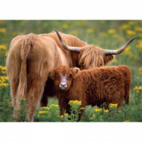 HIGHLAND COW WITH CALF GREETINGS CARD